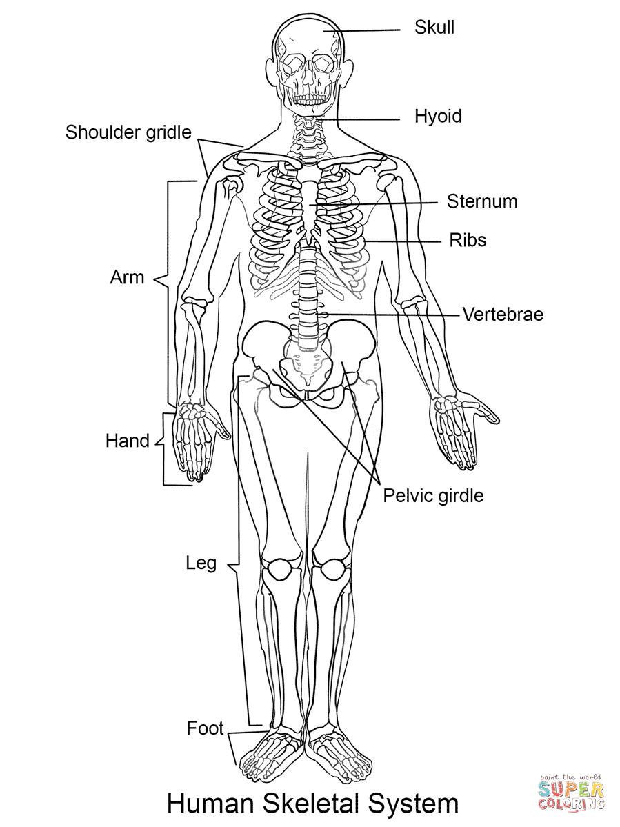Human Skeleton Coloring Page | Free Printable Coloring Pages - Free Printable Skeleton Coloring Pages
