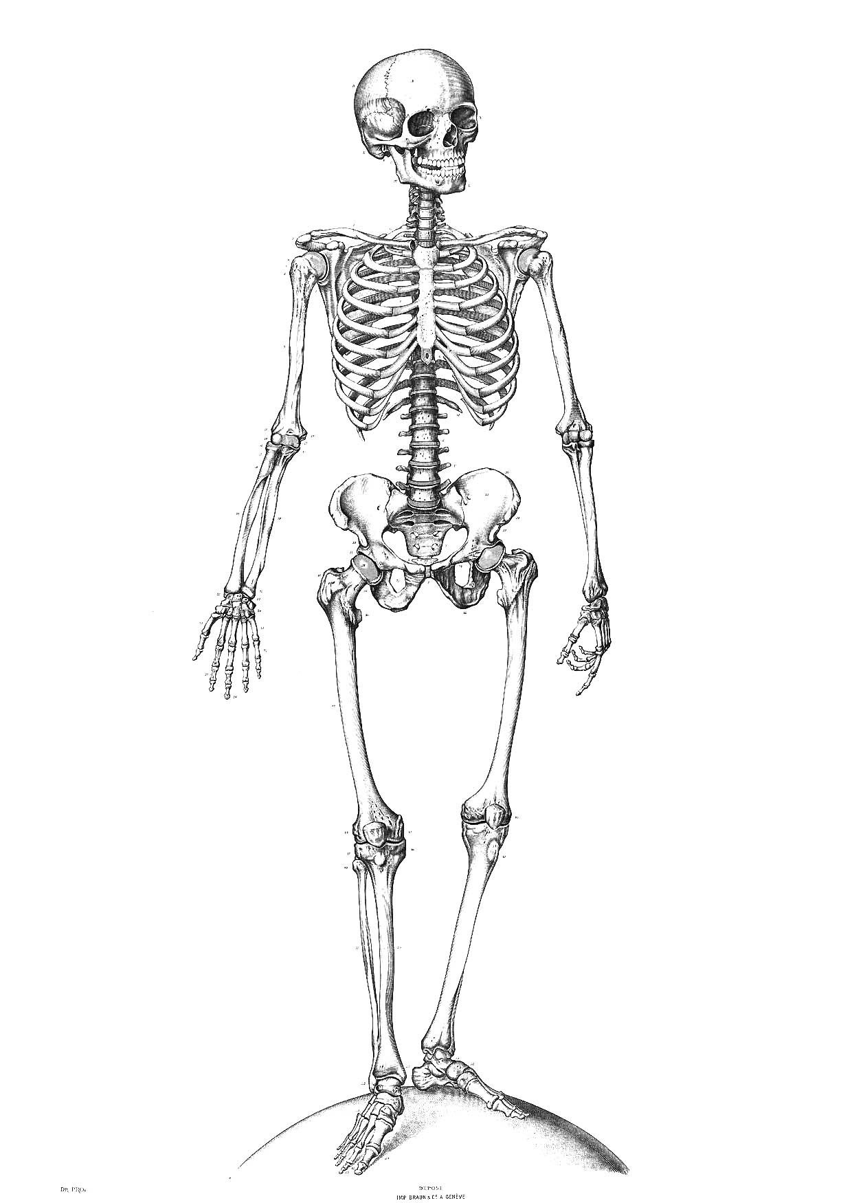 Skeleton Coloring Pages | All For The Kids! | Skeleton Drawings - Free Printable Skeleton Coloring Pages