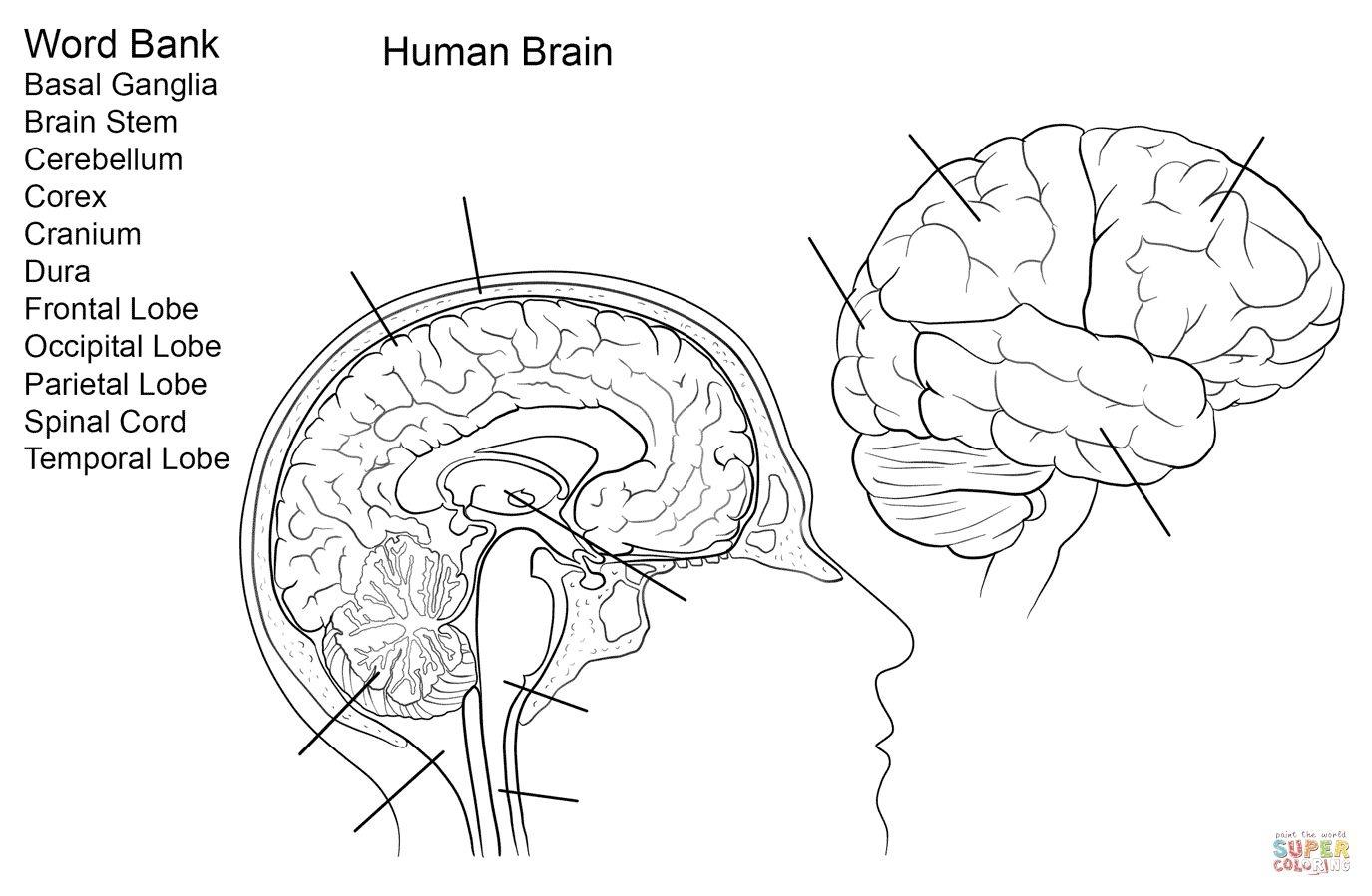 Brain Anatomy Worksheet Human Brain Worksheet Coloring Page Free - Free Anatomy Coloring Pages Printable