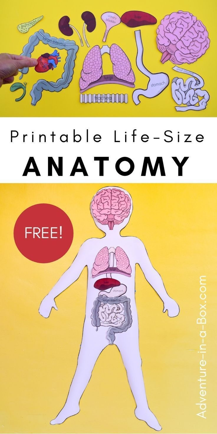 Free Printable Life-Size Organs For Studying Human Body Anatomy With - Free Printable Anatomy Pictures