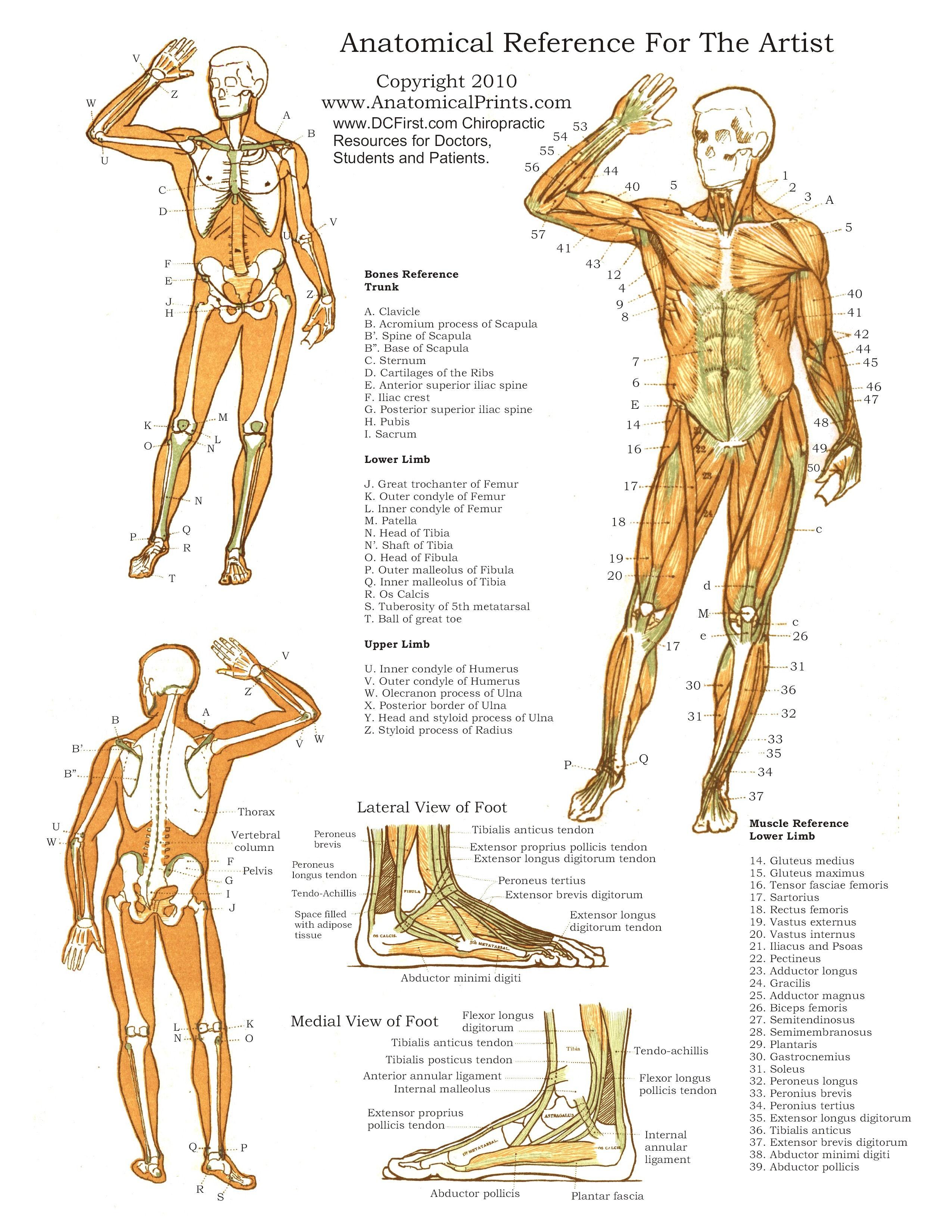 Printable Free Anatomy Study Guides - Free Printable Anatomy Pictures